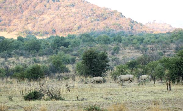 3-rhinos
