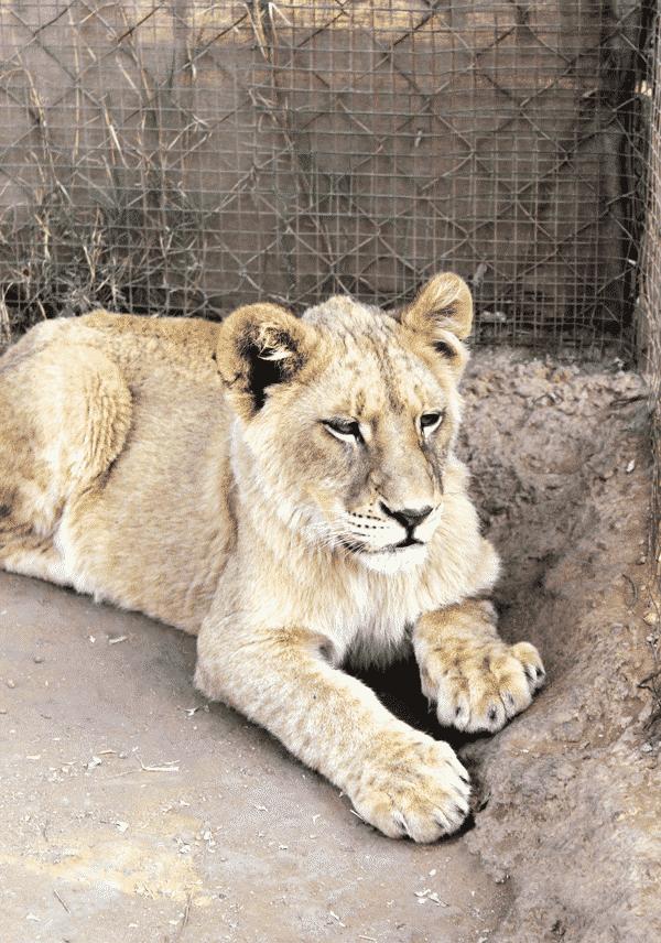 bigger-lion-cub