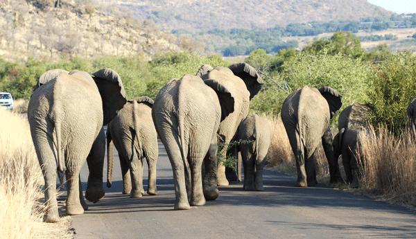 elephant-butts