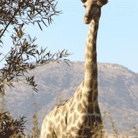 A Giraffe Next to a Tree in a South African Safari