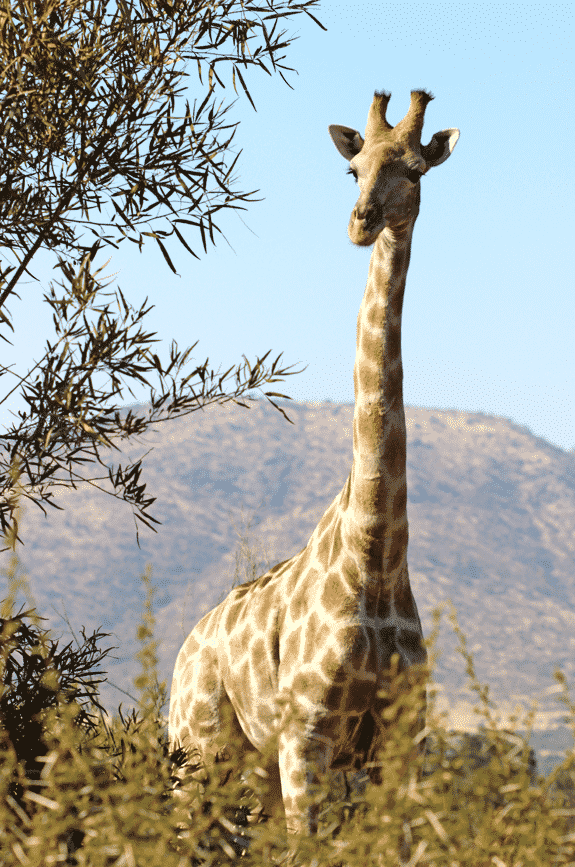 A Giraffe Next to a Tree in a South African Safari