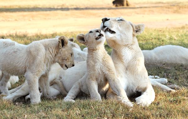 lion-bath