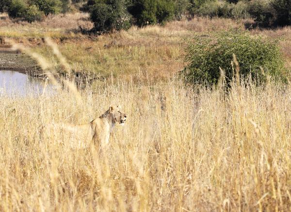 lion-wild