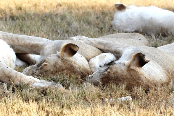 lions-sleeping