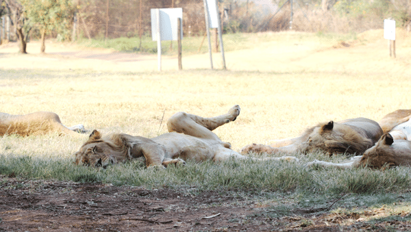 male-lion-sleeping