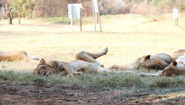 male-lion-sleeping