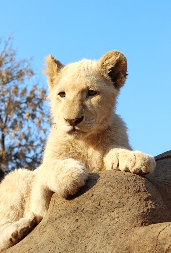 smaller-lion-cub