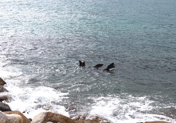 15Houte-Bay-sea-lion