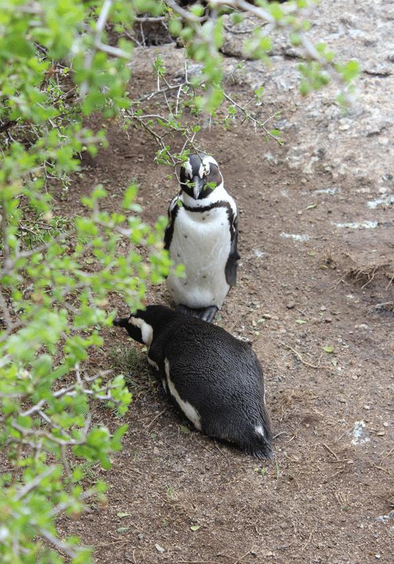 29penguins-on-walk