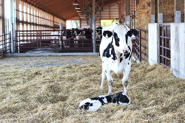 A Cow and its Baby on a Floor Covered in Hay