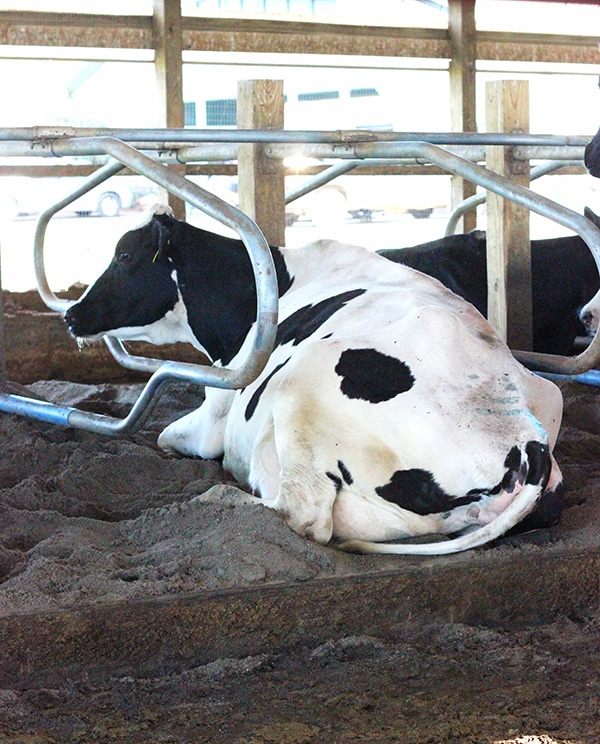A Black and White Cow Relaxing in its Bay