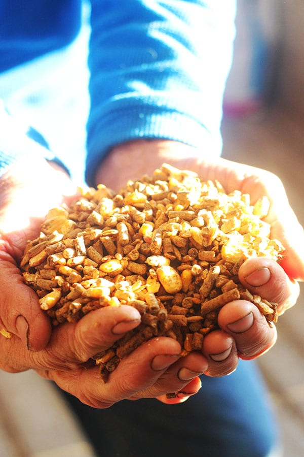 A Heaping Handful of Cow Feed with the Sun Shining on it